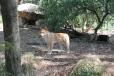 Dingók